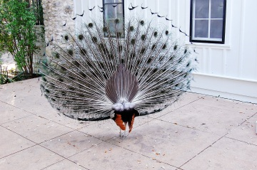 Shake your tail feathers.